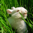 Cute white rabbit eats grass — Stock Photo