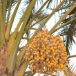 Stock Photo: Dates palm tree