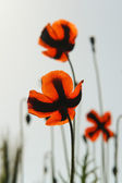 The poppies - back view - backlight — Stock Photo