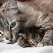 Stock Photo: Cat and her kitten sleep