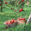 Abundant Harvest of Fruit - Stock Photo