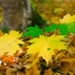 Stock Photo: Autumn leaves of maple