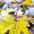 Autumn leaf of maple — Stock Photo #2002642