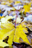 Autumn leaf of a maple — Stock Photo