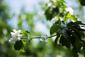 Flower of an apple-tree — Stock Photo