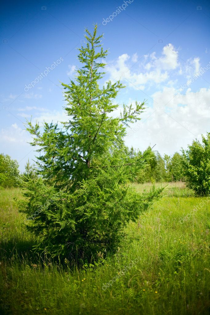 Summer landscape with a fur-tree — Stock Photo #2001144