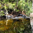 Alligators in the Everglades — Stock Photo