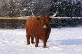 Hairy ox — Stock Photo