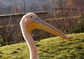 White pink pelican bird — Stock Photo