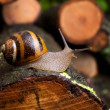 Snail - Stock Photo