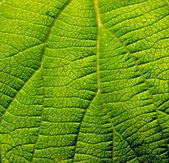 Kiwi leaf — Stock Photo