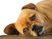 Lethargy of Doggy — Stock Photo