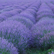 Lavender — Stock Photo #2056556