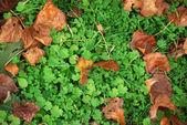 Autumn clovers — Stock Photo