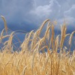 Wheat landscape - Stock Photo