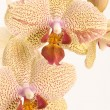 Yellow Orchid — Stock Photo #1988715