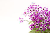 Senetti Magenta Bi-Color — Stock Photo