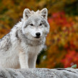 Foto Stock: Young Arctic Wolf Looking at the Camera
