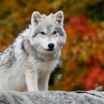 jovem lobo Ártico, olhando para a câmera — Foto Stock