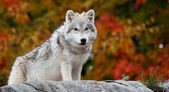 Young Arctic Wolf Looking at the Camera — Стоковое фото