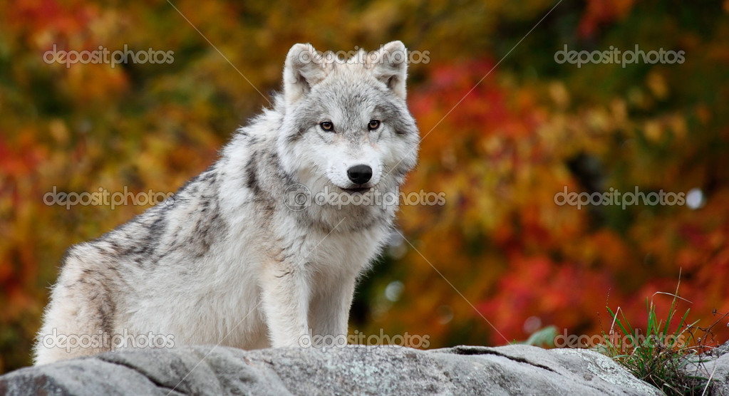 On a fall day a young arctic wolf is looking at the camera. — Stock Photo #1928099