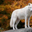 Arctic Wolf Looking at the Camera - Stock Photo