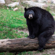American Black Bear Sitting - Stock Photo