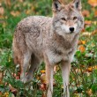 Royalty-Free Stock Photo: Coyote Looking at the Camera