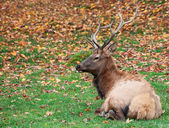 Elk Lying Down on a Fall Day — Stock Photo