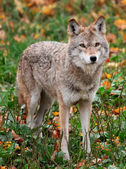 Coyote Looking at the Camera — Stock fotografie