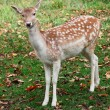 Stock Photo: Fallow Deer Looking at the Camera