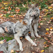 Two Gray Wolves Relaxing — 图库照片