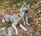 Two Gray Wolves Relaxing — Stock fotografie