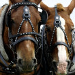 Two Horses' Heads - Stock Photo