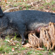 Royalty-Free Stock Photo: Wild Pig Feeding Her Piglets