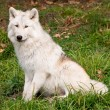Stock Photo: Artic Wolf Looking at Camera