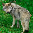 Young Gray Wolf — Stock Photo #2031759