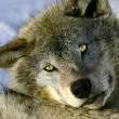 Resting Young Gray Wolf — Stock Photo