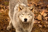 Wolf Looking Up — Stock fotografie