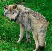 Young Gray Wolf — Stock fotografie