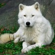 Stock Photo: Artic Wolf