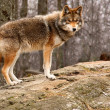 Stock Photo: Coyote Standing on a Rock