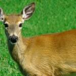 Deer Looking at Us — Stock Photo