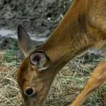 Deer Eating Hay — Stock Photo
