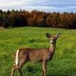 Female Deer on a Fall Day — Stock Photo