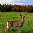 Female Deer on a Fall Day — Stock Photo #2048027