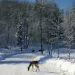 Fallow Deers on the Snowy Road — Foto Stock