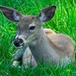 Young Deer — Stock Photo