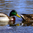 Stock Photo: Male Duck Following Female Duck