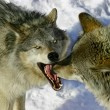 Fighting Wolves — Stock Photo